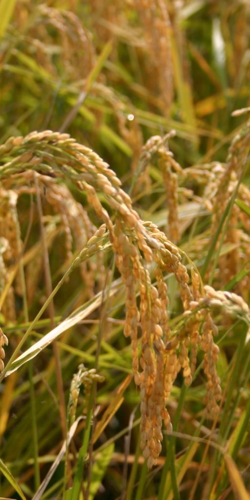 稲の風景(阪神米穀株式会社)